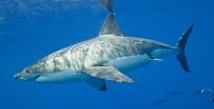 Le grand requin blanc n'est pas en danger d'extinction dans le Nord-Est Pacifique