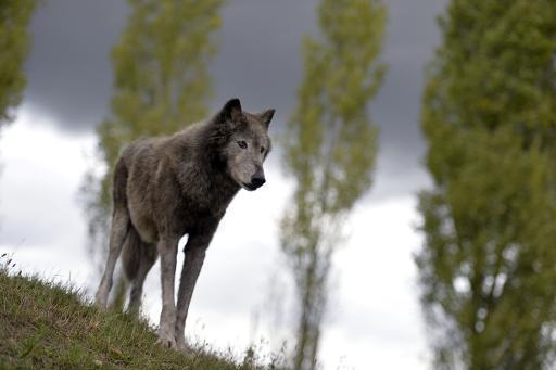 L'Assemblée autorise à son tour les éleveurs à abattre des loups