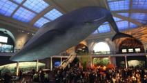 Dormir sous une baleine bleue à New York en passant la nuit au musée