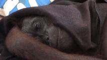 L'orang-outan ne voulait pas se séparer de sa peluche