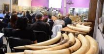Vente record d'une tonne de défenses d'éléphant à Cannes