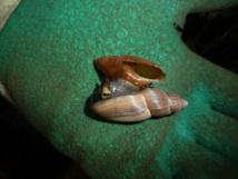 Un escargot carnivore dévore sa proie