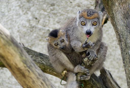 Naissance exceptionnelle dans l'Indre de quatre petits Lémurs, espèce en danger