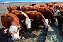 Le boeuf, une source de protéines qui coûte cher à l'environnement