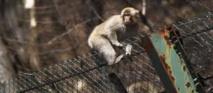 Le sang des singes de la région de Fukushima modifié