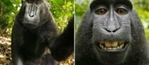 Wikimedia: litige autour d'un selfie pris par un singe