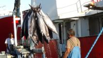 Débarquement de germons à Nouméa, Nouvelle Calédonie (Source : Anne Lefeuvre, Copyright : Secrétariat général de la Communauté du Pacifique)