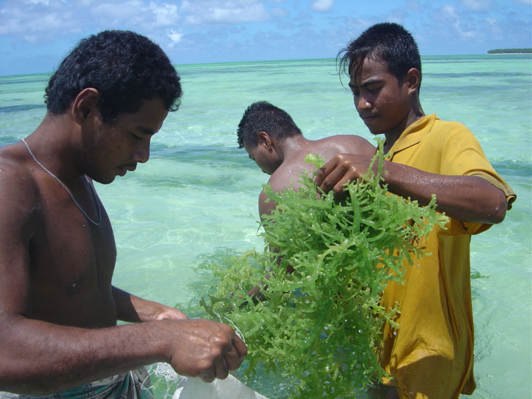 Culture d'algues marines à Tabiteuea, Kiribati (Source : Antoine Teitelbaum, Copyright : Secrétariat général de la Communauté du Pacifique)