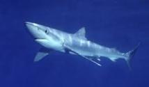 Un requin bleu aperçu devant la plage d'Ostie, près de Rome