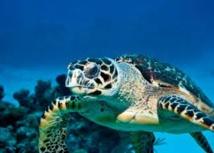 Les migrations de 150 tortues marines de l'océan Indien scrutées par l'Ifremer