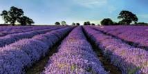 La lavande sous la menace d'un insecte destructeur et de la réglementation européenne