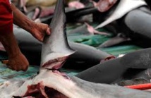 Chine: dénoncé par les ONG et banni des banquets, l'aileron de requin n'a plus la cote