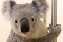 Un koala miraculé du bouche-à-bouche