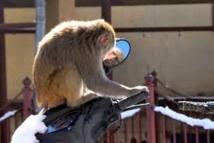 Inde: un singe joue les Robin des Bois en lâchant des billets