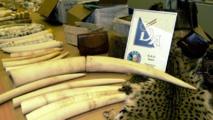 Saisie d'ivoire en Belgique.
