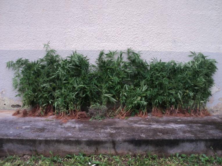 1064 pieds de cannabis saisis à Rurutu