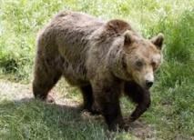 Pas d'implication humaine dans la mort de l'ours Balou