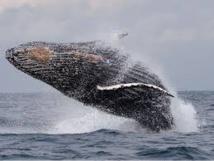 Le Gabon se pose en défenseur africain des baleines