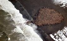35.000 morses s'échouent en Alaska, le réchauffement climatique en cause