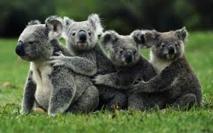 Australie: un vaccin chez les koalas frappés par les chlamydiae