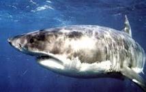 Afrique du Sud: attirer des requins ou l'emploi, il faut choisir