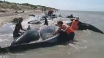 Echouage de baleines en Nouvelle-Zélande: mort de 36 cétacés, 21 sauvés