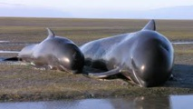 Hécatombe de baleines-pilotes en Nouvelle-Zélande