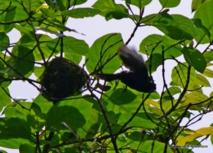 Tifo (et oui il est tout noir maintenant) s'envole de son nid penché. Va-t-il l'abandonner ?