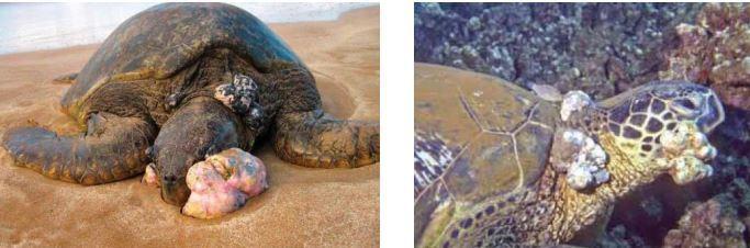 Des tortues malades de la fibropapillomatose