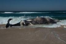 Une baleine d'une quinzaine de mètres échouée sur une plage de Camargue