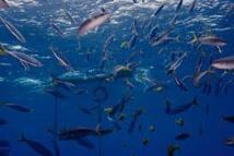 Thon tropical: les pêcheurs français font campagne pour des techniques de pêche plus durables