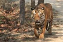 Chasse au tigre à proximité de Disneyland Paris
