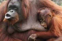 Les grands singes menacés par la culture de l'huile de palme en Asie et en Afrique
