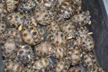 Vietnam: saisie d'un millier de tortues de mer trafiquées