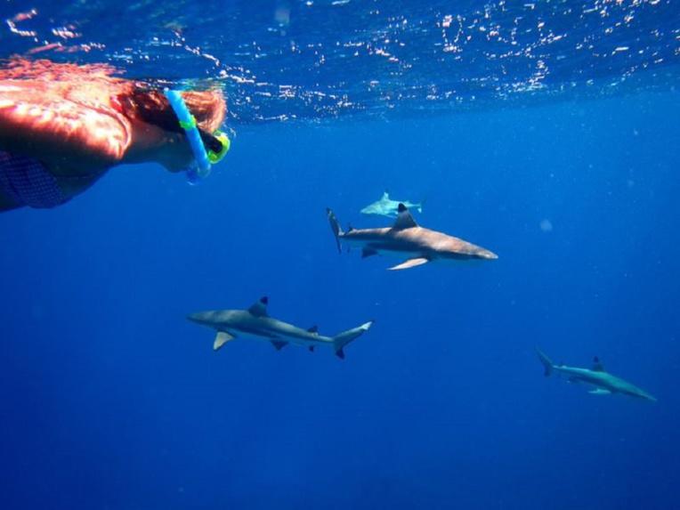 A Moorea, dans le lagon, de nombreux prestataires d'activités touristiques proposent une observation des raies attirées par du nourrissage artificiel. Dans leur sillage, les requins ne sont jamais très loin.