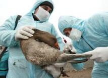La France vulnérable face au retour de la grippe aviaire en Europe