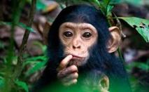 Les chimpanzés ne sont pas des personnes, tranche une cour new-yorkaise