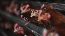 Grippe aviaire au Canada : l'abattage de 80 000 volailles a commencé