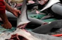 Indonésie: la difficile bataille de Xu pour lutter contre le commerce de requins