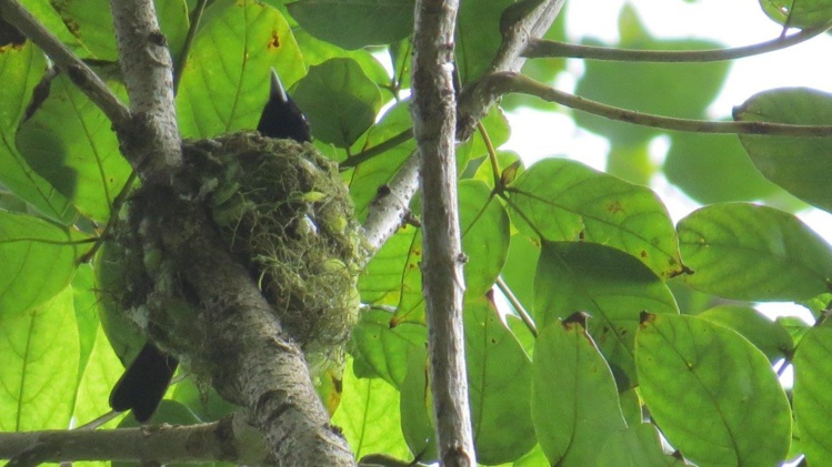 Le nid de Faifai (Photo A. Petit)