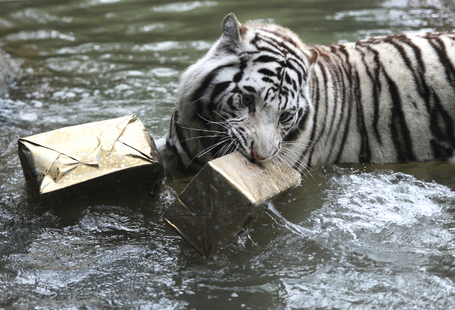 Tout le monde a reçu un cadeau de Noël même les animaux du zoo de la Sarthe.