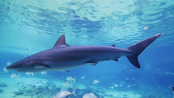 Nouvelle morsure de requin en Australie