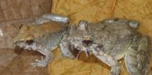 Les grenouilles Limnonectes larvaepartus le 31 décembre 2014. AFP