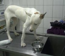 BlancBlanc avait été emmenée chez le vétérinaire pour être opérée, mais était morte trois jours plus tard.