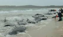 Près de 200 baleines s'échouent sur une plage en Nouvelle-Zélande