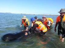 La moitié des 200 baleines échouées en Nouvelle-Zélande sont mortes