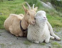Pour les Chinois, l'année de la Chèvre est aussi celle... du Mouton