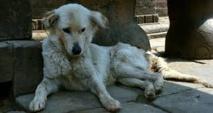 Les chiens errants de Téhéran bientôt vaccinés et équipés de GPS