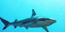 La présence de requins près des côtes de la Réunion due à un ensemble de facteurs