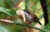 Birmanie: redécouverte d'un oiseau que l'on croyait disparu